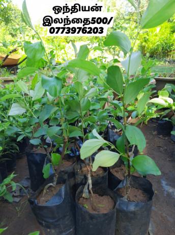 pavesharu-poonganishsoolai-plants-for-sale-jaffna-big-0
