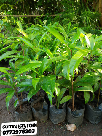 pavesharu-poonganishsoolai-plants-for-sale-jaffna-big-1