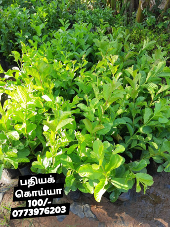 pavesharu-poonganishsoolai-plants-for-sale-jaffna-big-2