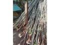 cassava-stick-for-sale-in-jaffna-small-0