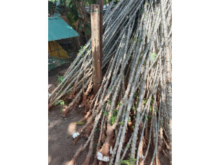 Cassava stick for sale in jaffna