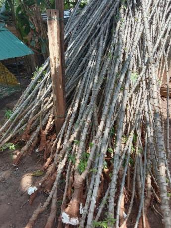 cassava-stick-for-sale-in-jaffna-big-1
