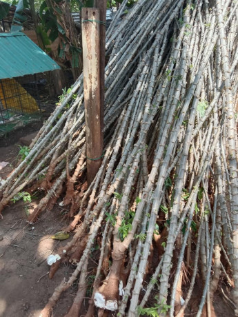 cassava-stick-for-sale-in-jaffna-big-0
