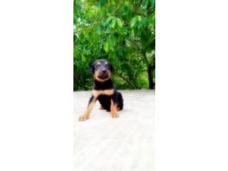 Doberman puppy sale in jaffna