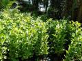 guava-plant-sale-in-jaffna-small-0