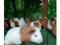 guinea-pig-for-sale-in-jaffna-small-1
