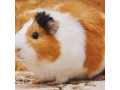 guinea-pig-for-sale-in-jaffna-small-0