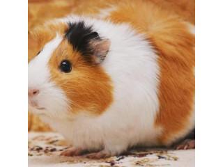 Guinea pig for sale in jaffna