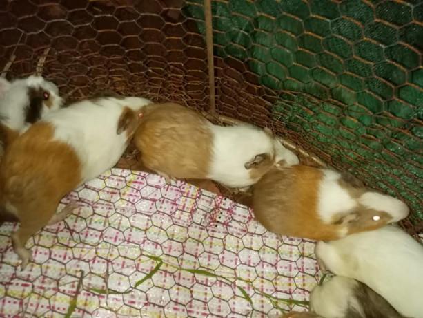 guinea-pig-for-sale-in-jaffna-big-2