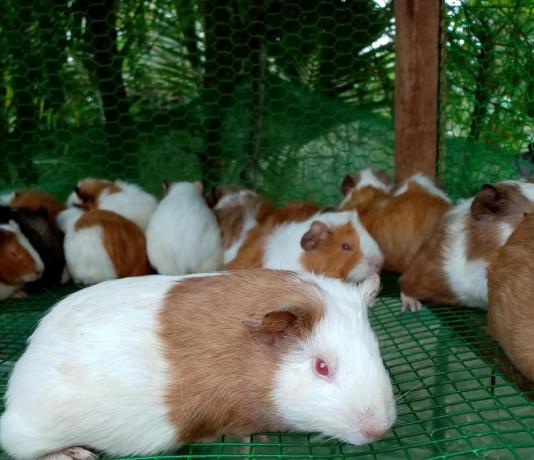 guinea-pig-for-sale-in-jaffna-big-1