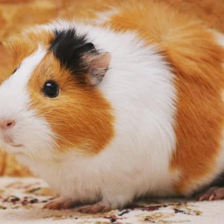 guinea-pig-for-sale-in-jaffna-big-0
