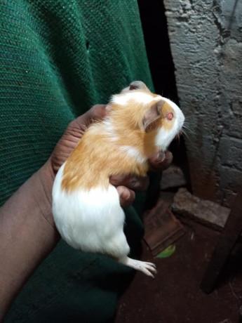 guinea-pig-for-sale-in-jaffna-big-3