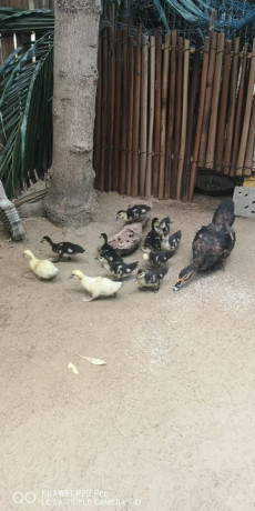 1-month-old-moscow-ducklings-for-sale-in-palai-kilinochchi-big-2