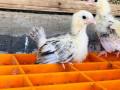 bantam-silk-chicken-for-sale-small-3