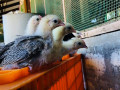 bantam-silk-chicken-for-sale-small-1