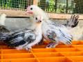 bantam-silk-chicken-for-sale-small-0