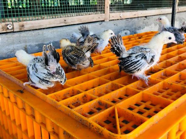 bantam-silk-chicken-for-sale-big-2