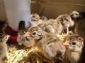 guinea-hen-for-sale-jaffna-small-0
