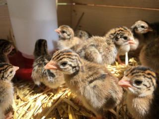 Guinea hen for sale jaffna