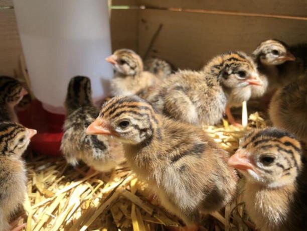 guinea-hen-for-sale-jaffna-big-0