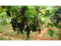 grapes-for-sale-in-jaffna-small-1