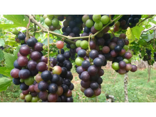 Grapes for sale in jaffna
