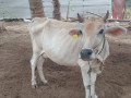 cow-sale-in-jaffna-small-0