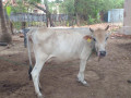 cow-sale-in-jaffna-small-2