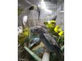 love-birds-for-sale-in-alaveddy-small-2