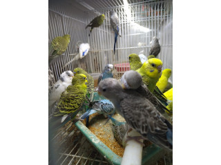 Love birds for sale in alaveddy