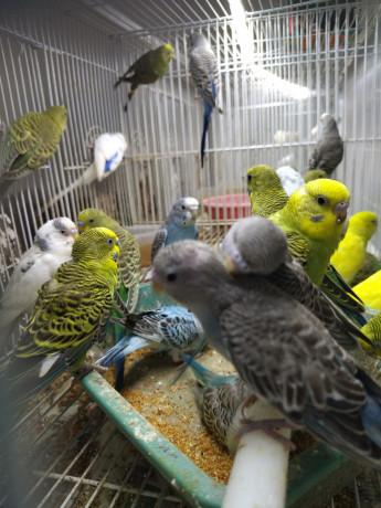 love-birds-for-sale-in-alaveddy-big-0