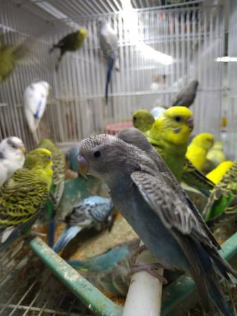 love-birds-for-sale-in-alaveddy-big-2