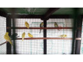 love-birds-for-sale-in-uduppiddy-jaffna-small-2