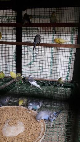 love-birds-for-sale-in-uduppiddy-jaffna-big-1