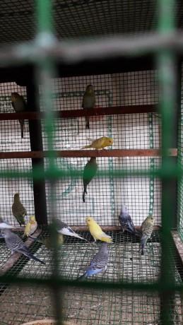 love-birds-for-sale-in-uduppiddy-jaffna-big-0
