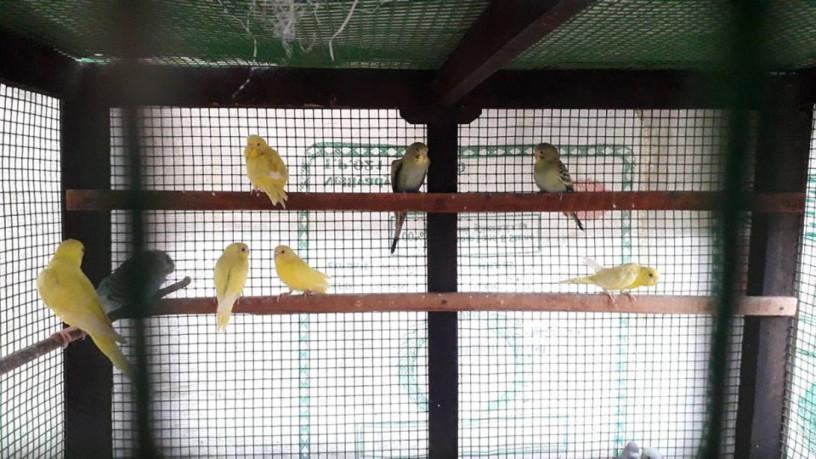 love-birds-for-sale-in-uduppiddy-jaffna-big-2