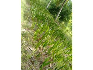 Coconut Plants for sale in jaffna